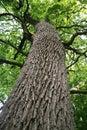 Obrovský dub strom