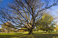 Huge Old Oak Tree in City Park Royalty Free Stock Image