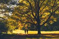 Huge old oak tree with yellow leaves backlit with sun in autumn park, people walking under the tree Royalty Free Stock Photo