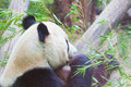 Huge panda bear is bamboo escapes Royalty Free Stock Image