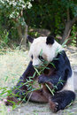 Huge panda a bear is bamboo escapes Royalty Free Stock Photos