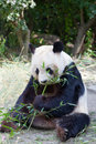 Huge panda a bear is bamboo escapes Royalty Free Stock Photography