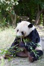 Huge panda a bear is bamboo escapes Stock Image