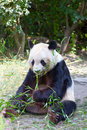 Huge panda a bear is bamboo escapes Royalty Free Stock Photo