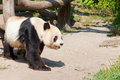 Huge panda a bear horizontal photo Royalty Free Stock Photography