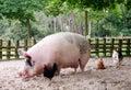 Huge Pig Stock Images