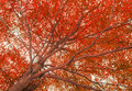 Huge red tree shot from bottom view Royalty Free Stock Images