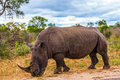 Huge rhino peacefully nibbling the grass Royalty Free Stock Photo
