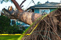 Huge roots equals huge tree old crashes into home due to storm i hope they have good home insurance Stock Photo