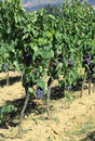 Huge row of vines with grapes in the countryside in summer Royalty Free Stock Photo