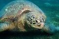 Huge sea turtle eat seaweed Royalty Free Stock Photo