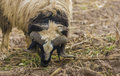 Huge sheep in Iraqi countryside Royalty Free Stock Photo