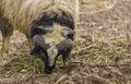 Huge sheep in Iraqi countryside Royalty Free Stock Photo