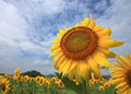 Huge Sunflower Stock Photography