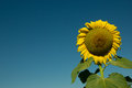 Huge sunflower in the middle of a field Royalty Free Stock Images