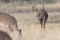 Huge tall tined whitetail buck approaching female Royalty Free Stock Photo