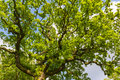 Huge tree details of the against sky Royalty Free Stock Image