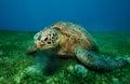 Huge turtle eating seaweed underwater Royalty Free Stock Photo