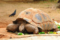 Huge turtle giant eating vegetables safari park central israel Stock Images