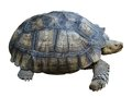 Huge turtle Royalty Free Stock Photo
