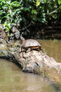 Huge turtle is staying on a fallen tree inside the river. Royalty Free Stock Photo