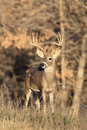 Huge typical racked whitetail buck very large during the rut Royalty Free Stock Photos