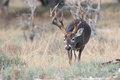 Huge whitetail buck searching for doe in heat search of Royalty Free Stock Photography