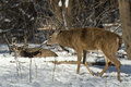 Huge whitetail bucks a mature buck in the winter walking up to a smaller buck Royalty Free Stock Image