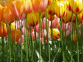 Huge yellow tulips Royalty Free Stock Image