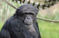 Hugo chimpanzee Royalty Free Stock Images