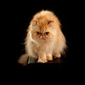 Huis volwassen perzische cat of red color Royalty-vrije Stock Afbeelding