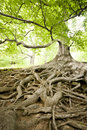 Hukvaldy big tree with countless roots in Royalty Free Stock Photography