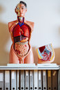 Human anatomical model photo of a models on a shelf in a classroom Royalty Free Stock Photos