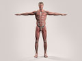 Human anatomy with front view of full body Royalty Free Stock Photo