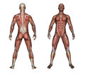 Human anatomy male muscles made in d software Stock Photography