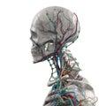 Human Anatomy Porcelain Skelet...