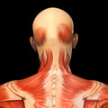 Human anatomy posterior head muscles of adult male man Royalty Free Stock Photography