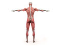 Human anatomy showing back full body, head, shoulders and torso. Royalty Free Stock Photo