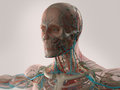Human anatomy showing face, head, shoulders and chest. Royalty Free Stock Photo