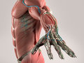 Human anatomy view of torso and arm. Royalty Free Stock Photo