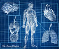 The human blueprint concept body heart lungs brain and internal organs Royalty Free Stock Images