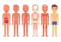 Human body anatomy vector illustration. Male skeleton, muscular, circulatory, nervous and digestive systems