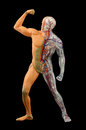 Human body a man muscular system blood circulation and bone system model of Royalty Free Stock Photography