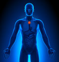 Human body medical imaging male organs thymus Stock Image