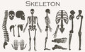 Human bones skeleton silhouette  collection set. High detailed Vector illustration. Royalty Free Stock Photo