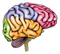 Human brain anatomy sectioned an illustration or diagram of an anatomically correct with different sections in different colors Royalty Free Stock Images