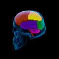 Human brain colored sections of a cerebrum sdie view Stock Photo