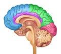 Human brain lobes Royalty Free Stock Photo