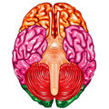 Human brain underside view vector Royalty Free Stock Photo