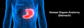 Human Digestive system Anatomy Stomach